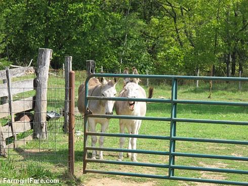 Dolores and Daphne doing the donkey treat death stare (4) - FarmgirlFare.com