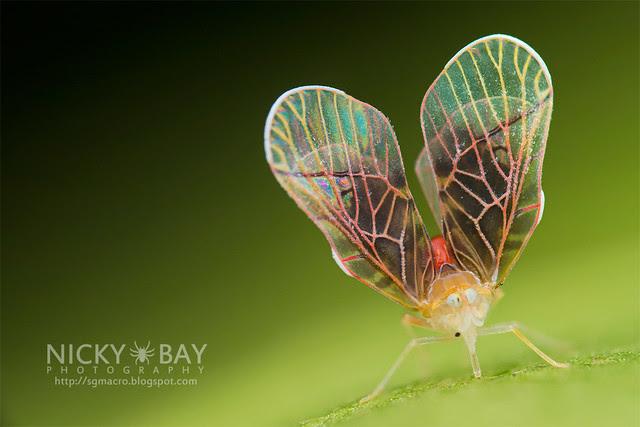 Derbid Planthopper (Derbidae) - DSC_3258