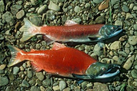 Des saumons rouges de la Colombie-Britannique.... (Photo: AFP)