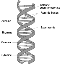 220px-dna-structure-and-bases-fr-svg.png