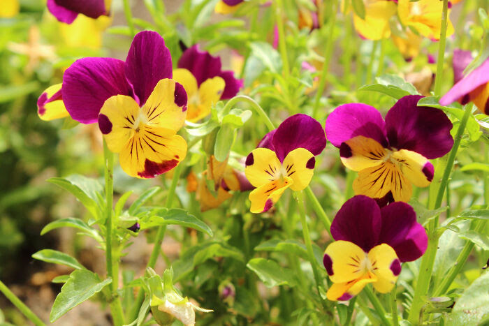 Pansy Flower Meaning Flower Meaning