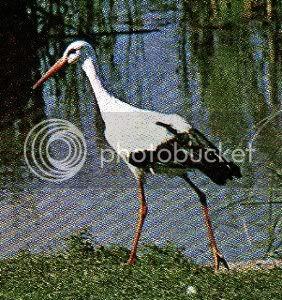 Pg4-5, White Stork