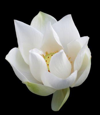 White Lotus, White Rite
