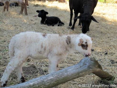 Random lamb snaps 7 - FarmgirlFare.com