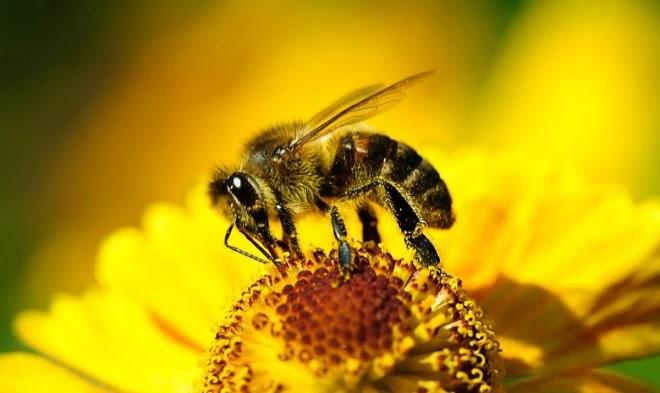 Стимуляция кофеином улучшает рабочие качества пчел