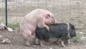 Pigs Xxx Hd 108030f Stock Footage Video | Getty Images