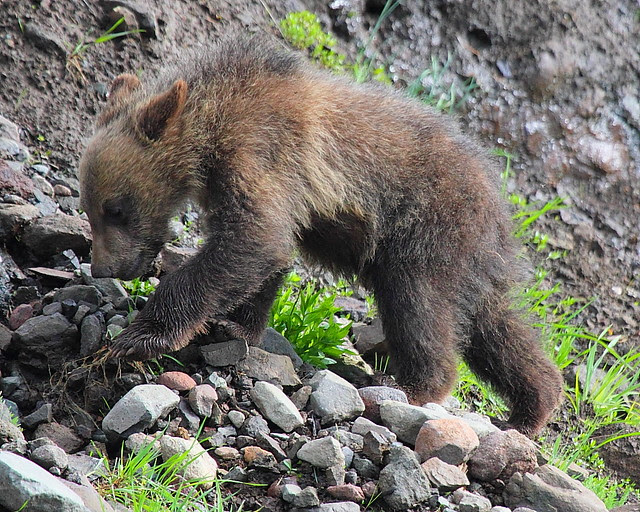 IMG_2248 Grizzly Cub