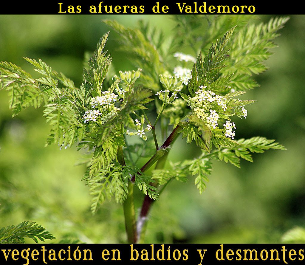 hierbas silvestres: acaso ... conium maculatum (cicuta, perejil lobuno...)