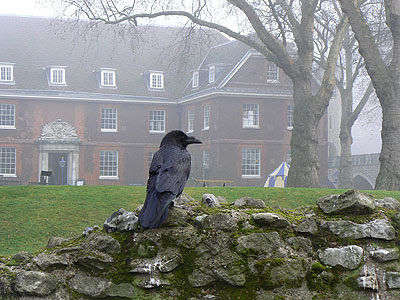 un corbeau de la tour de Londres.jpg