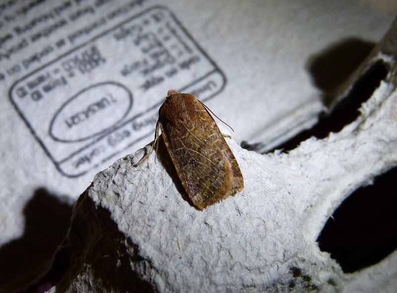 P1040076 - Chestnut (Conistra vaccinii)