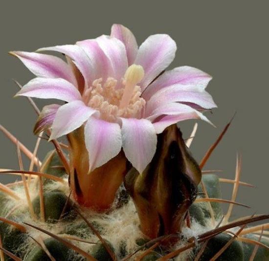 cactus-flowers- (22)
