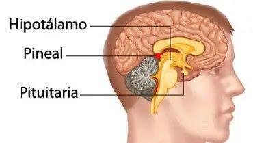 Resultado de imagen de glandula pineal