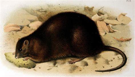 Bulldog rat   Wikipedia