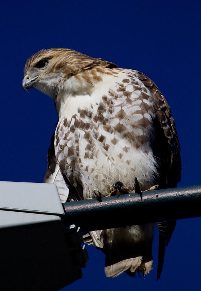 Meer Hawk