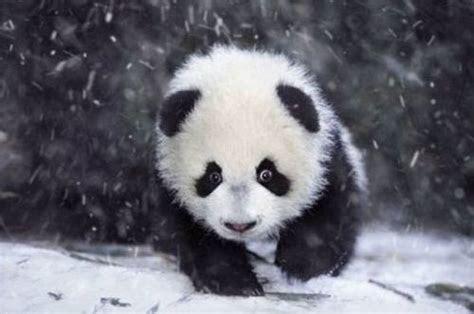 foto gambar bayi panda lucu lampu kecil