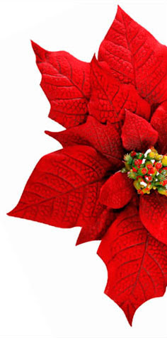 Meaning Symbolism Of Poinsettia