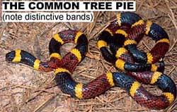 The common American tree pie.