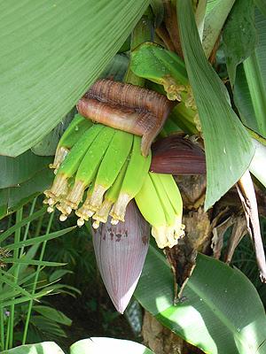 bananiers.jpg