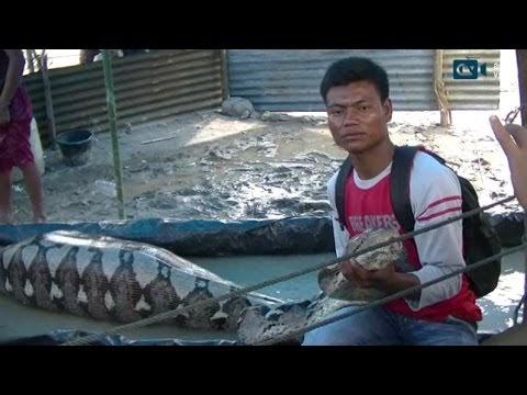 Usai Mangsa Kerbau, Ular Phyton Raksasa Ditangkap Warga