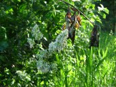 Meadow-grass, 4
