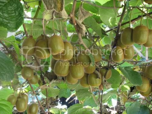 Knowing the benefits of kiwifruit