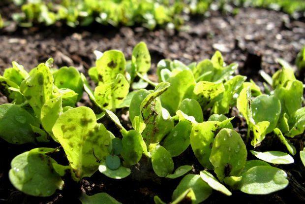 Λάχανο στα πρώτα στάδια, oakleyoriginals@Flickr