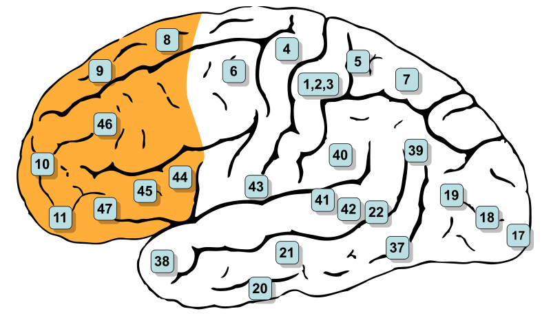 پرونده: Gray726 Brodman-prefrontal.svg