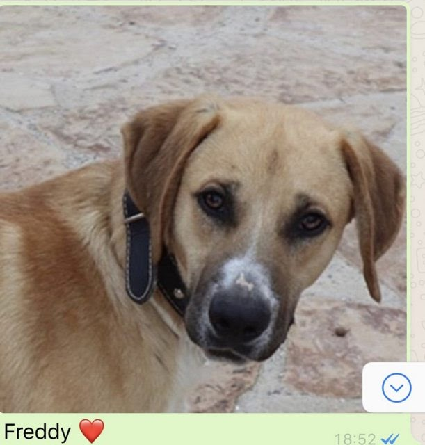 Freddy – 10 month old male Cross-Breed