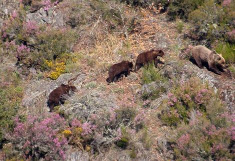 Una osa fotografiada con sus tres crías en la Cordillera Cantábrica. | Fundación Oso Pardo