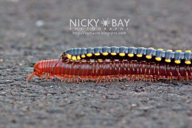 Millipedes wrong mating pair! (Diplopoda) - DSC_1933