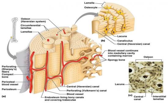 Haversian System; Osteon