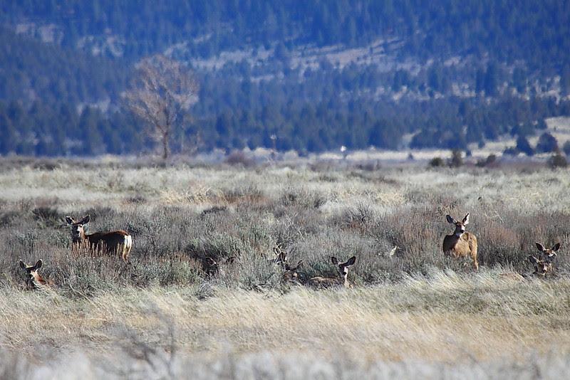 IMG_1297 Black-Tailed Deer, Ash Creek Wildlife Area