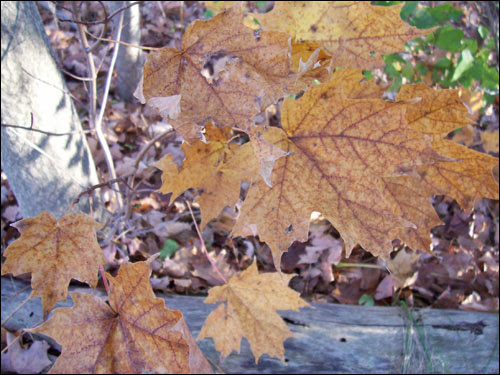 Autumn leaves, November 8, 2009