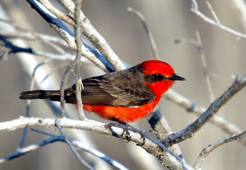 Vermilion Flycatcher, Male by Charles & Clint.