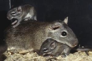 O rato-rabudo, também conhecido em partes do Nordeste como punaré ou rato-boiadeiro