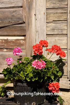 Geraniums and Weathered Building, Monroe County, Wisconsin