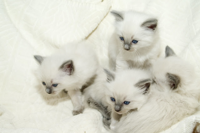 Rag Doll Kittens