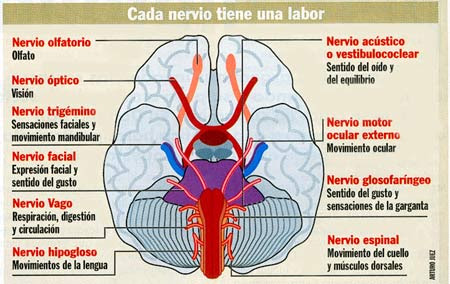 Los nervios craneales arrancan del encéfalo. Tomada de Cambio16 (20 de Enero de 2000).