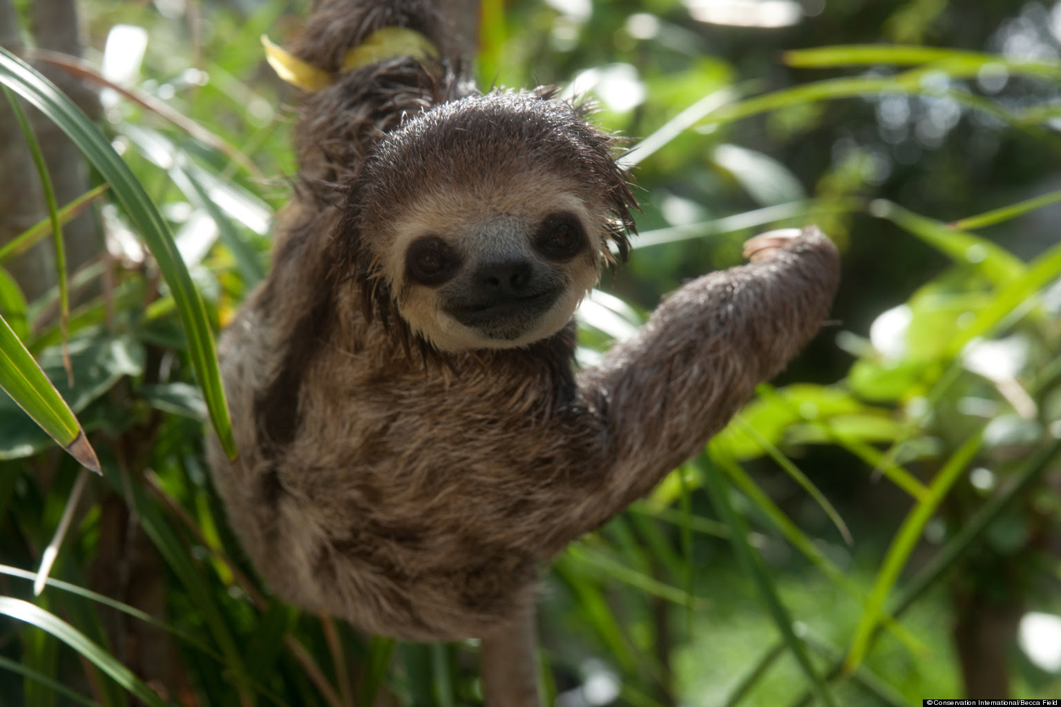 Sloth animal in spanish