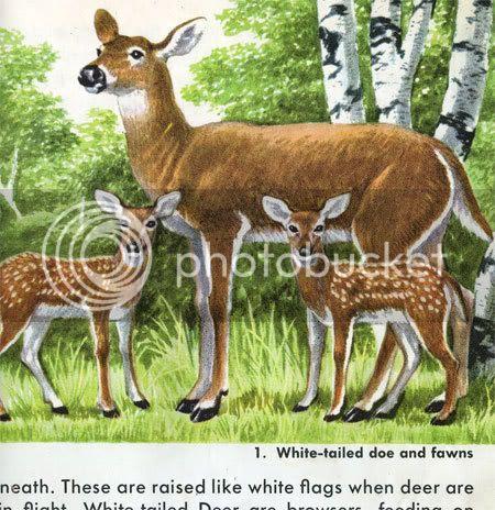 Deer from golden book American mammals