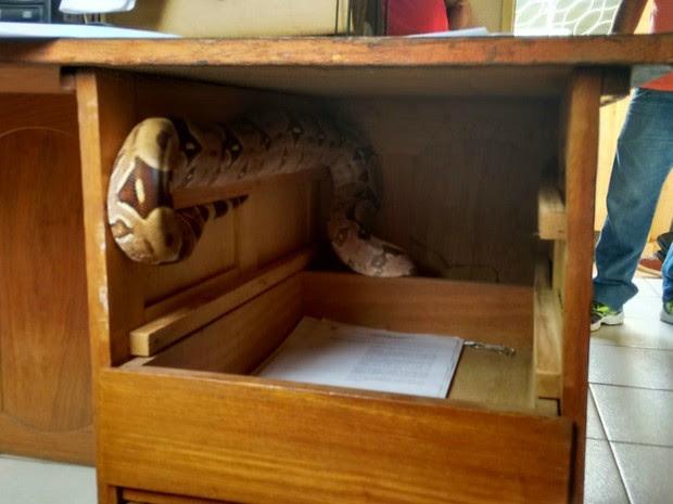Cobra foi encontrada dentro da gaveta em delegacia de Porto Velho, RO (Foto: Whatsapp/Reprodução)