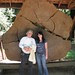 coastal redwood tree cross-section