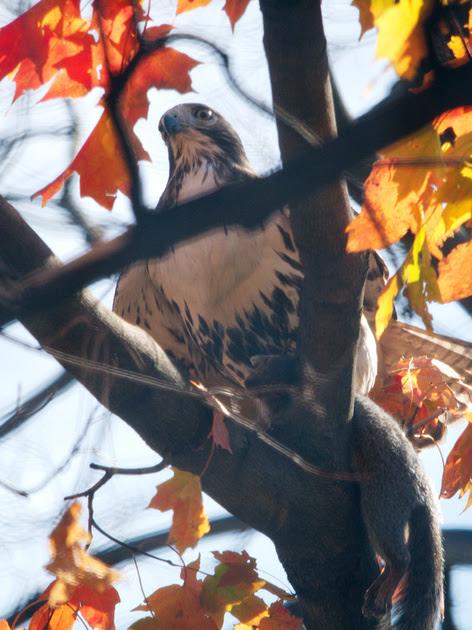 Ed Gaillard: birds &emdash; Red-Tailed Hawk with squirrel