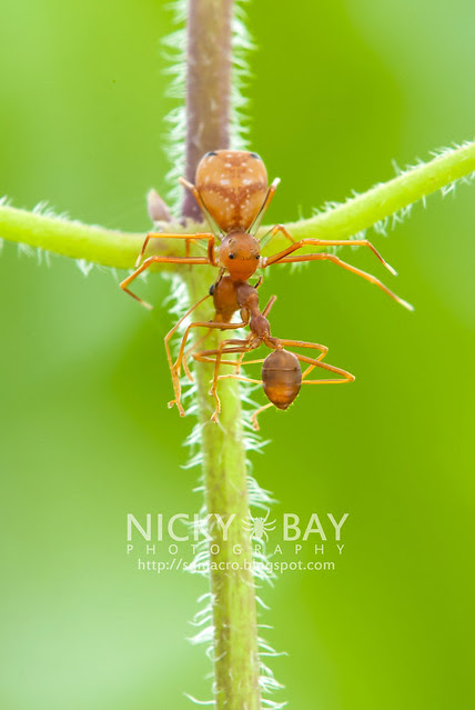 Ant-mimic Crab Spider (Amyciaea lineatipes) - DSC_2553