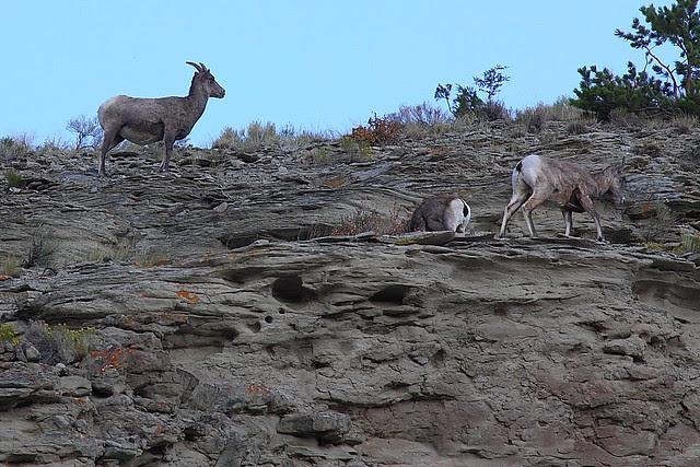 IMG_0002 Bighorn Sheep near North Entrance