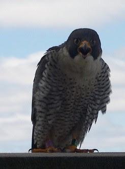 Hathor, a Peregrine Falcon