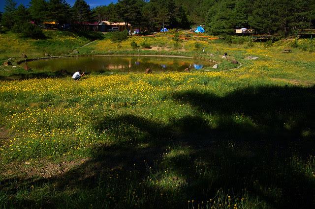 2007.07.21 福壽山農場 / 貓耳葉菊