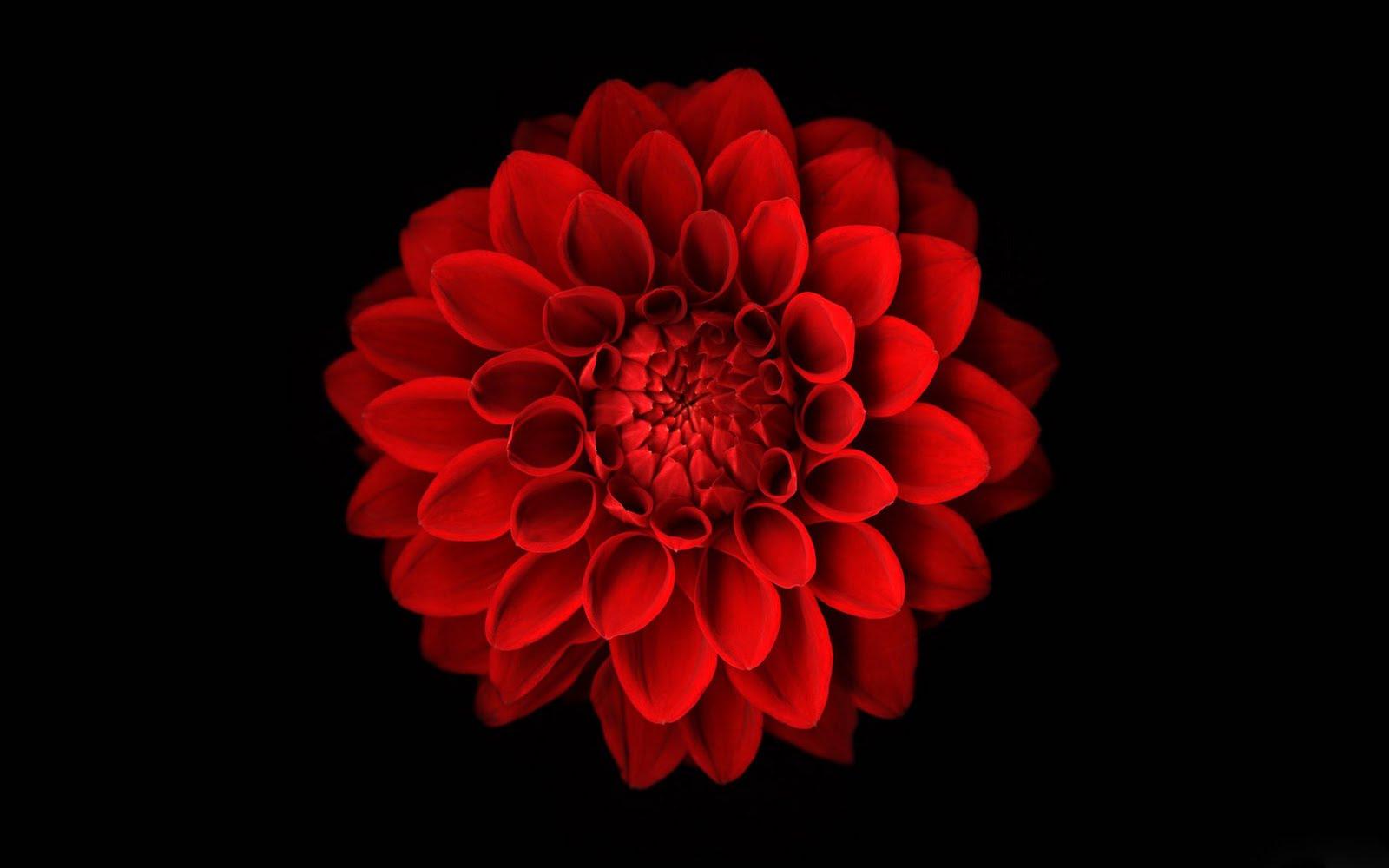 Unduh 94 Koleksi Wallpaper Black Red Flowers Gratis