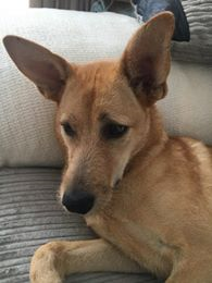 Honey – 1 year old female Cross-Breed