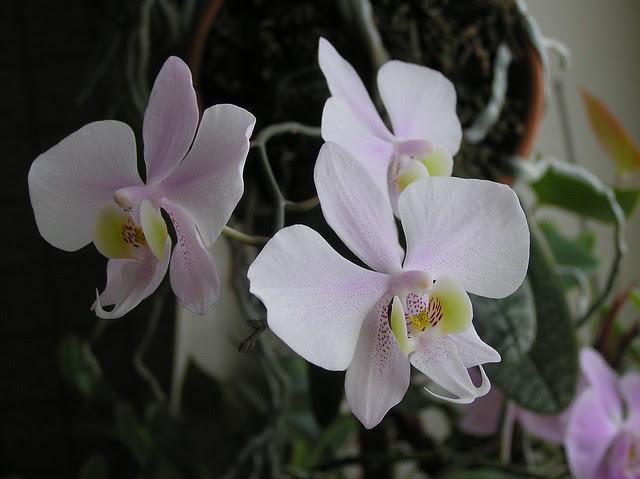 Phalaenopsis 'Philishill'